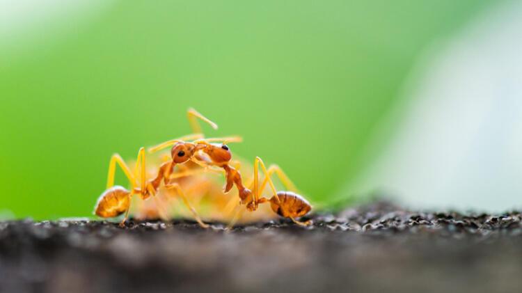 Karıncalar akraba evliliğinden kaçıyor… Personel karıncaların fedakarlığı…